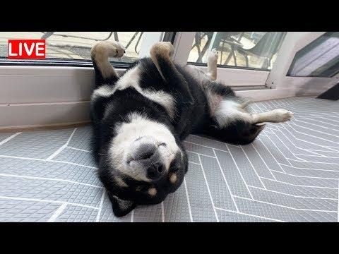 귀엽게 잠자는 강아지 곰탱여우 방송!