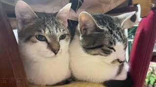 クラムチャウダー作戦と可愛い猫達。