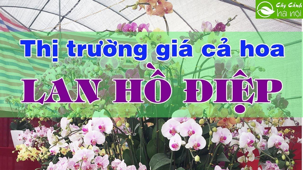 Thị trường giá cả của hoa lan hồ điệp