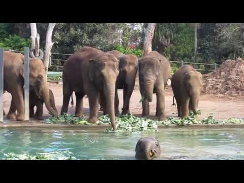 Baby Elephant goes swimming at Melbourne Zoo