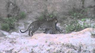 After retrieving its dinner from the tree, the leopard moves the warthog to a sheltered spot