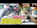 Pleci Anakan Ring Pcmi  Juara Nasional Gacor Istimewa  Mp3 - Mp4 Download