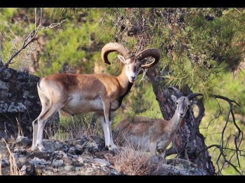 Ten minutes documentary (in the wild) about endemic Cyprus Mouflon by George Konstantinou