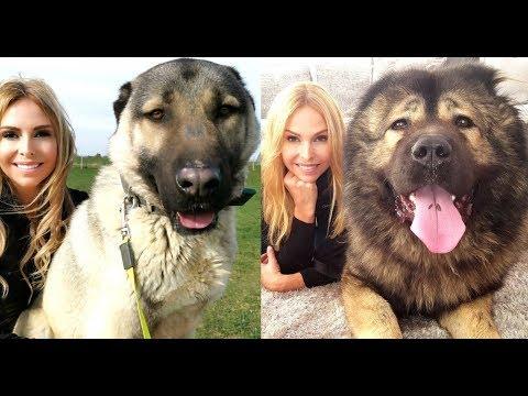 WOLF KILLERS - CAUCASIAN SHEPHERD VS TURKISH KANGAL