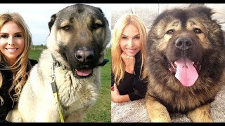 WOLF KILLERS  CAUCASIAN SHEPHERD VS TURKISH KANGAL