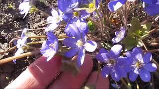 видео Цветок печеночница: фото растения, описание, посадка и уход