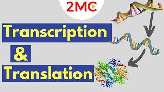 Transcription & Translation | From DNA to RNA to Protein