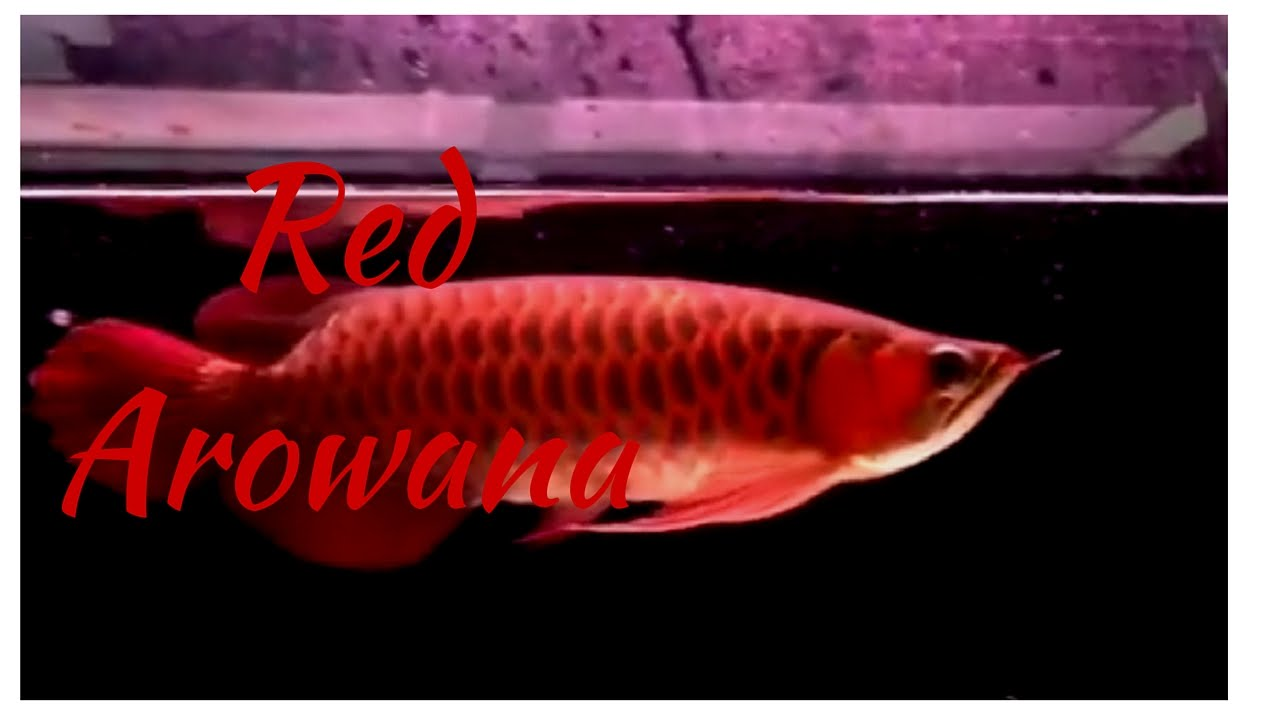Red arowana 13 inch freshwater fish - YouTube