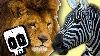 Lion vs Zebra - Deadliest Showdowns - Earth Unplugged