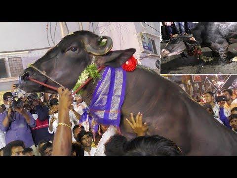 Narayanguda    Sadar Festival 2018 Utsav    Buffalo's Dunnapotu    Sayyata Telangana Yadav's Sadar