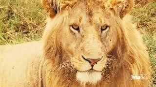 WILDLive! - Tanzania - Lion - S03 E07