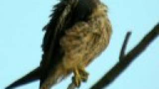 halcon de eleonor - falco eleonorae - eleonora`s falcon