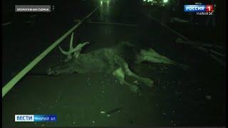 Фото В этом году в Марий Эл произошло 3 ДТП с участием лосей