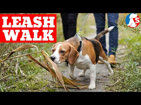 Leash Walking A BEAGLE To Stop Pulling On Leash