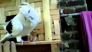 burung merpati moven vs kipas