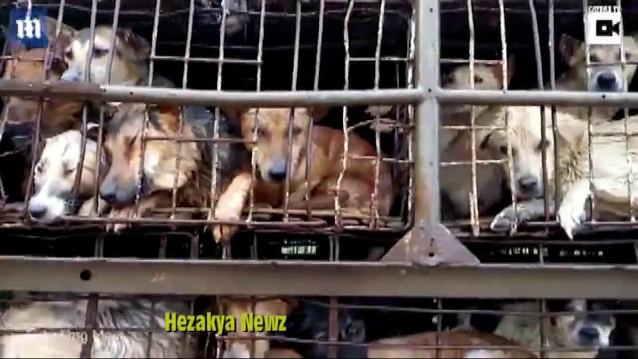 SAVAGE FOOTAGE Shows Truck Packed With DOGS Arriving To Be BOILED ALIVE In VIETNAM!