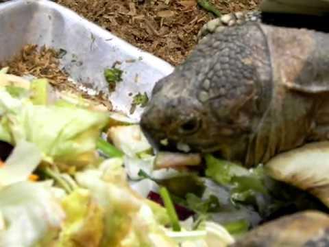 Sliders-хищники. Красноухие черепахи. - YouTube