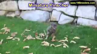 Miniature Pinscher, Puppies, For, Sale, In, Albuquerque, New Mexico, Nm, Gallup, Carlsbad, Alamogord