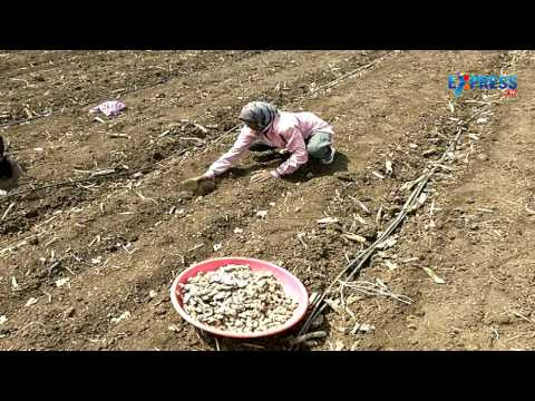 Success story on Ginger and Sugarcane Cultivation - Paadi Pantalu