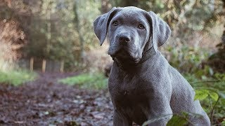 Guard Dog Puppy Training! The Most Important Video You MUST Watch!
