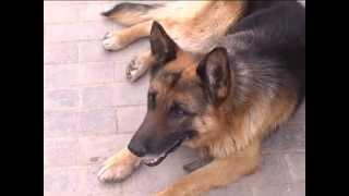 Собака открывает калитку и ест траву.