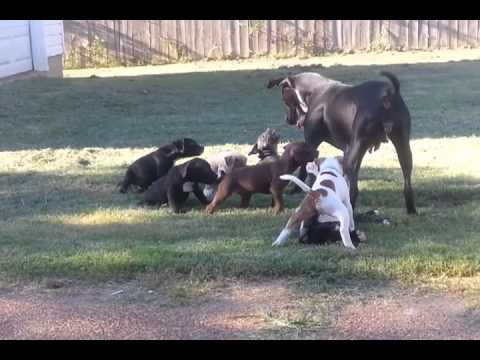 7 week pitbull puppies playing with mom outside.