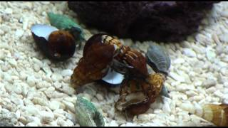 Eremit krabber skifter