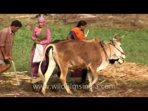 Weak bulls for ploughing fields in terai region below the Himalayan foothills