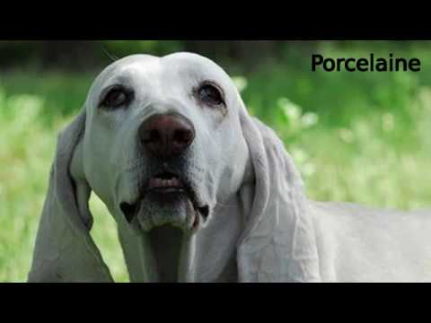 Porcelaine - medium to large dog breed