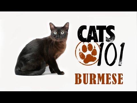 Бурманская кошка Бурма Характер на ilikepet - YouTube