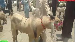 Mirpur Sakro Bakra Mandi || Video 2019 ||Livestock Market