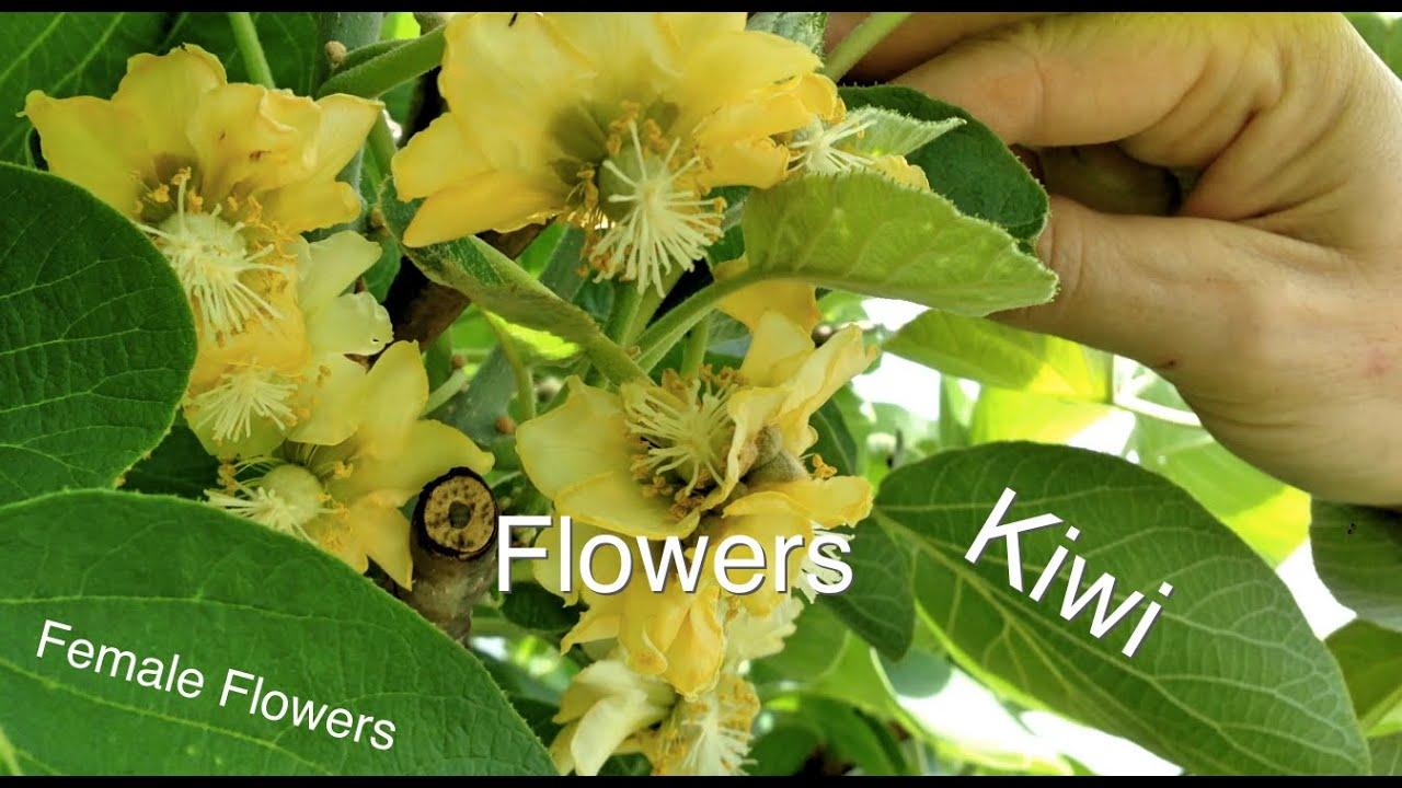 Female Kiwifruit Flowers Difference Between Male Kiwi Fruit
