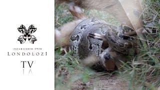 Python Strangles Young Bushbuck Whilst Mother Tries to Free It - Londolozi TV thumbnail