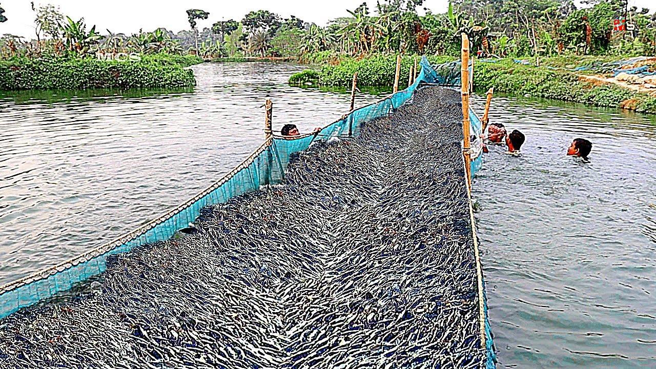 Benar! Ikan Besar di Kolam Budidaya Nasional