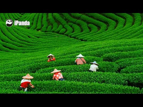 Ariel view of China — Meijiawu Tea Plantation | iPanda