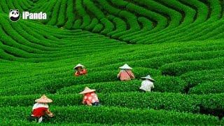 Ariel view of China — Meijiawu Tea Plantation | iPanda
