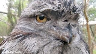 Owl (Frogmouth) Is Not Impressed