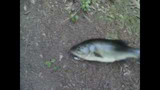big bass at dean pond Monson MA, wouldnt sit still