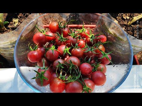 Томаты на балконе. Урожай томатов сорта Черная Вишня ( Black Cherry)
