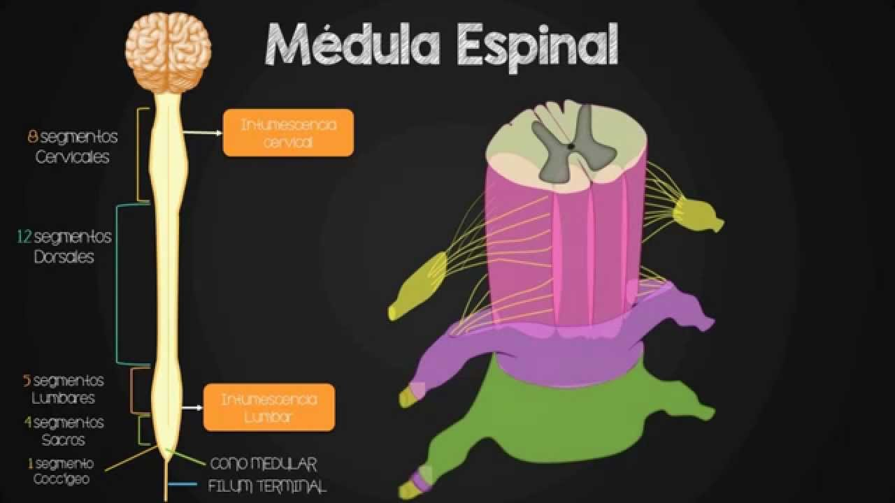 Tractos ascendentes y descendentes de la médula espinal - YouTube