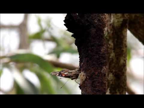 Kamehameha Butterfly sap