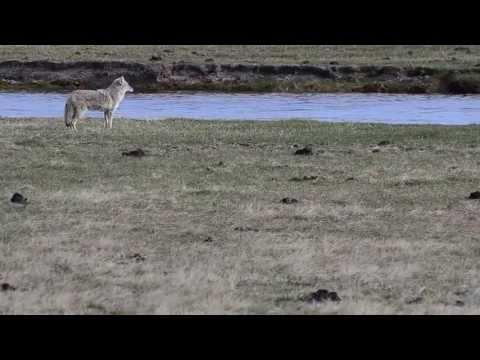 Coyote en Yellowstone Mayo 2013