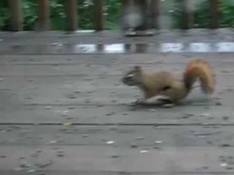 Epic Squirrel Showdown