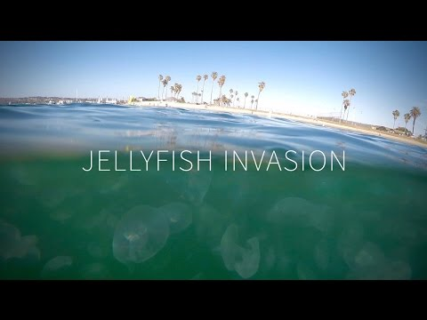 Jellyfish Invasion in San Diego