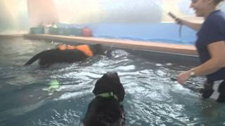 2 Geriatric Black Labrador Lab Retrievers A Blast In Heated Pool Playing With Dog Toys!