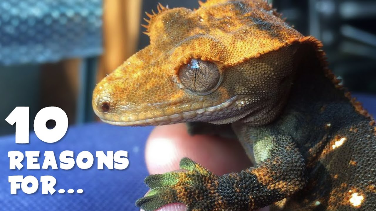 Stunted growth loss of appetite crested gecko youtube nvjuhfo Images