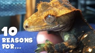 Stunted Growth / Loss of Appetite | CRESTED GECKO