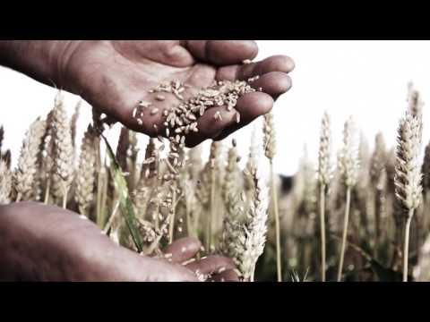HD SUPER SLOW MO Farmer's Hands Examining Wheat Grains 000026815766 HD1080Video