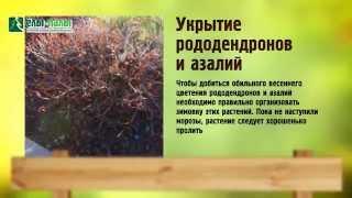 Укрытие рододендронов и азалий на зиму(Весеннее цветение азалий и рододендронов будет зависеть от того, как они перезимуют. Важно правильно сдела..., 2014-10-07T05:32:50.000Z)