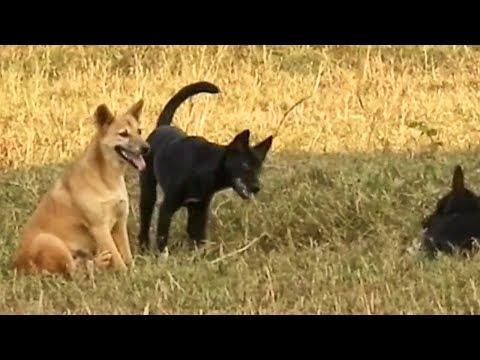 Troop of Australian kelpie dog on the riz field
